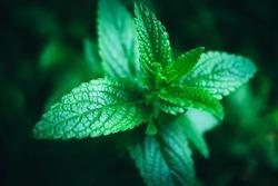 Spearmint plant leaves in tha garden, macro. Mint freshness backdrop, close up.