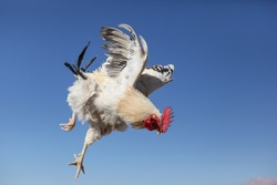 Special style of cock in flight, Rooster in flight.