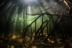 Specialized prop roots rise from the seafloor in a mangrove forest near Flores, Indonesia. This tropical region, in the Coral Triangle, harbors extraordinary marine biodiversity.