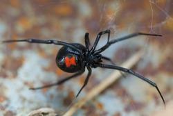 Species Latrodectus mactans. Black widow spider.