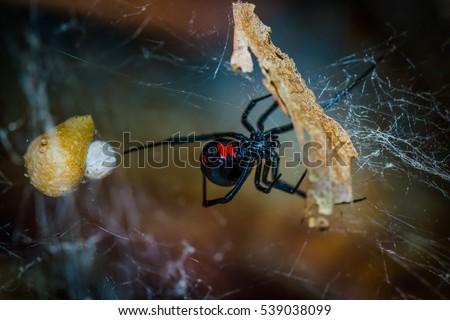 Species Latrodectus mactans. Black Widow spider and her eggs. #539038099