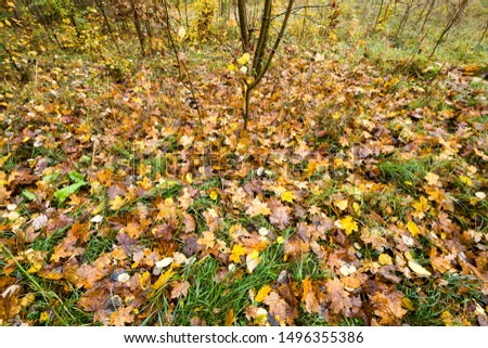 specific autumn weather in the forest with yellow and green foliage, landscape with foliage falling to the ground #1496355386