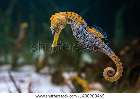 Specimen of longsnout seahorse (Hippocampus reidi) also known as slender seahorse