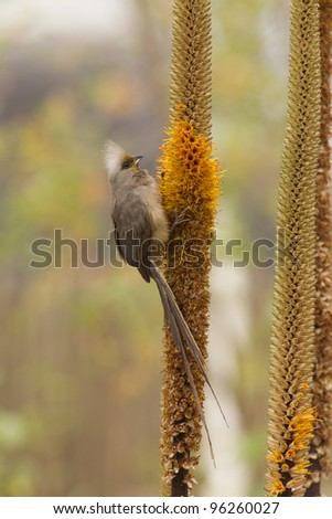 Speckled MousebIrd (Colius striatus) on Aloe flower in Kruger Park, South Africa