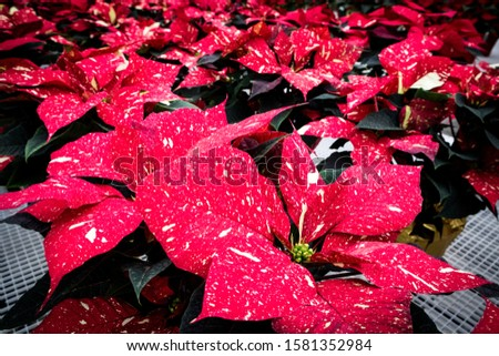 Speckled Poinsettia Flowers Blooming at Christmas
