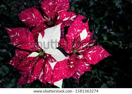 Speckled Poinsettia Flowers for Chirstmas