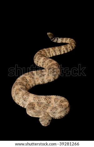 Speckled Rattlesnake (Crotalus mitchellii) isolated on black background.
