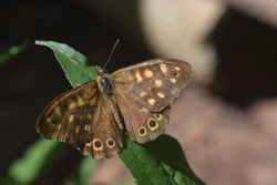 Speckled wood brown and yellow butterfly sitting on the leaf of a plant under sunlight.