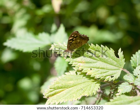Speckled Wood Butterfly perched on leaf closed wings summer - Pararge aegeria; England; UK
