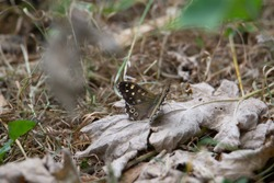 speckled wood (Pararge aegeria) a speckled wood butterfly resting on a dead leaf with a natural  background