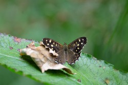 speckled wood (Pararge aegeria) a speckled wood butterfly resting with wings open on a green leaf with a natural green background