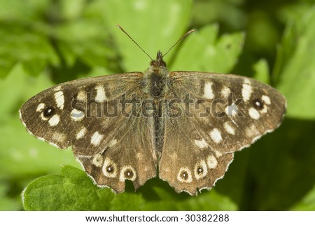 "Speckled Wood ""Pararge aegeria"" Butterfly"