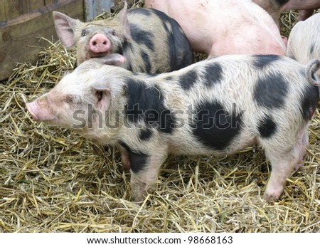 Speckled young pigs in the straw of a stable