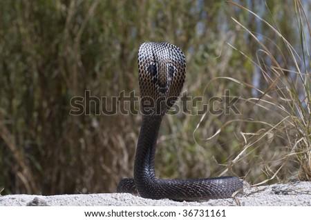 Spectacle Cobra