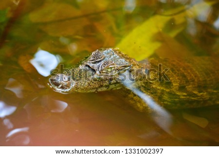Spectacled caiman (Caiman crocodilus), also known as the white caiman or common caiman, is a crocodilian reptile found in much of Latin America, Costa Rica, Central America
