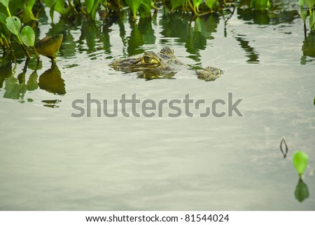 Spectacled Caiman hiding in the water (showing eyes only)