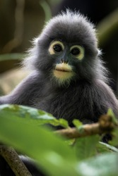 Spectacled leaf monkey also called dusky langur looking at camera
