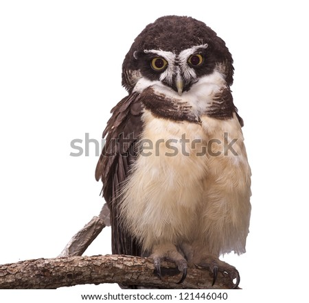 Spectacled owl isolated on white