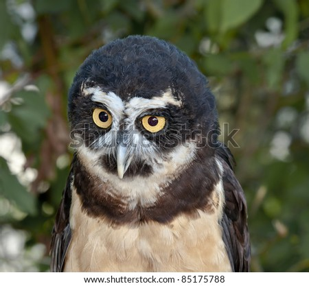 Spectacled Owl Portrait