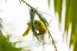 Spectacled weaver (ploceus ocularis) building a nest on palm leaf. Moremio game reserve, Okavango delta, Botswana.