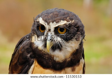 Spectacles owl