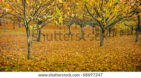 Spectacular autumn colours in an orchard, with small toadstools in foreground