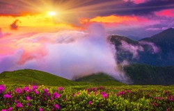 spectacular foggy morning view, amazing blooming pink rhododendron flowers on the meadow, golden sunlight of rising sun in Carpathian mountains, Ukraine - Romania, Europe, Marmarosy range