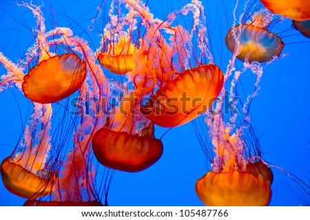 spectacular jellyfish