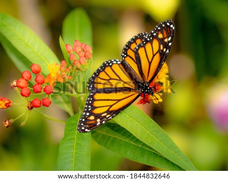 Spectacular Monarch butterfly sitting in a colourful garden. Stock photo ©