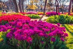 Spectacular morning scene of blooming violet tulip flowers in Gulhane (Rosehouse) park. Attractive outdoor scene of Istanbul, Turkey, Europe. Sunny morning landscape of city park.