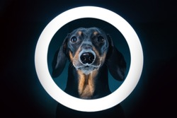 Spectacular portrait of cute blogger dachshund with cell phone stand with LED ring light, shot in dark.Freelance dog uses specialized equipment to create blog content.
