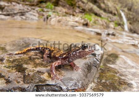 Speleomantes strinatii (Strinati's cave salamander) in its habitat