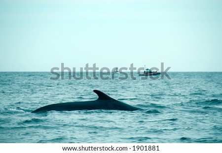 sperm whale in the St-Laurence