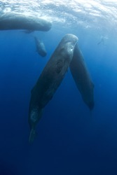 Sperm whale near the surface. Swimming with whales. Rare encounter in the tropical ocean.