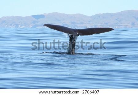 Sperm whale, New Zealand