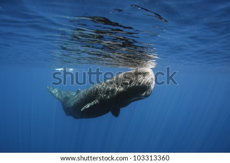 Sperm whale off Sri Lanka