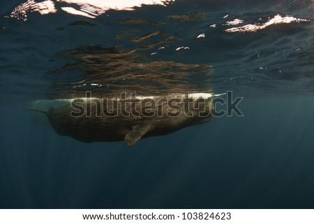 Sperm whale photo taken underwater