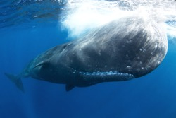 sperm whale, physeter macrocephalus, tooth whale