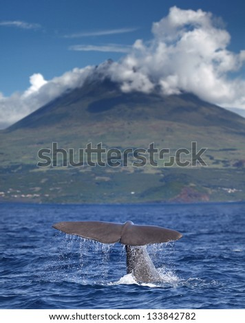Sperm whale starts a deep dive in front of volcano Pico, Azores islands