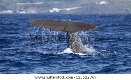 Sperm whale starts a deep dive - near shore waters south of Lajes do Pico (Pico Island, Azores) 02
