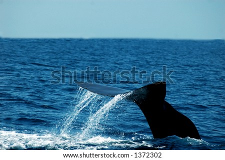sperm whale tail lifting toward a dive