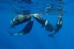 Sperm whales in a social gathering, Indian Ocean, Mauritius.