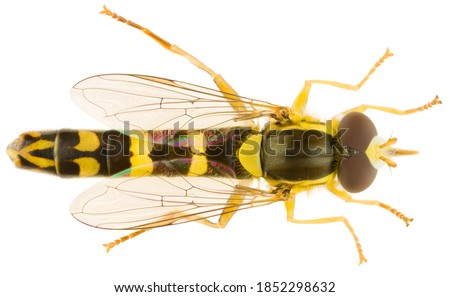 Sphaerophoria scripta, the long hoverfly, is a species of hoverfly belonging to the family Syrphidae. Long hoverfly isolated on white background. Dorsal view of hoverfly. Stockfoto ©