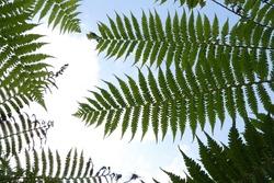 Sphaeropteris cooperi (Cyathea cooperi), also known aslacy tree fern,scaly tree fern, orCooper's tree fern