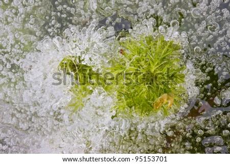 Sphagnum peat moss frozen in ice