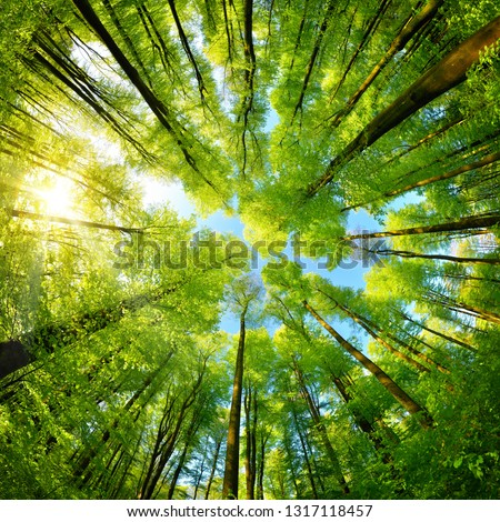 Photo of  Spherical panorama in a forest, magnificent upwards view to the treetops with fresh green foliage, square format