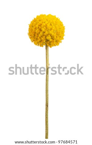 Spherical with a delicate yellow flower stems on a white background