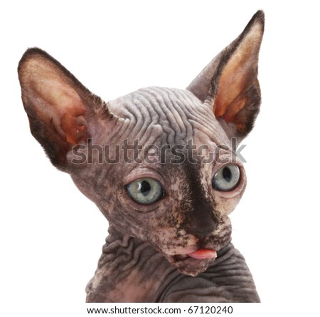sphinx cat