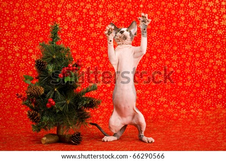 Sphinx cat begging at Christmas tree