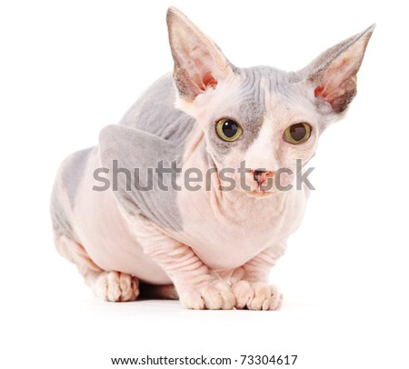 Sphinx cat, isolated, over white background